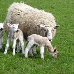 sheep lambs