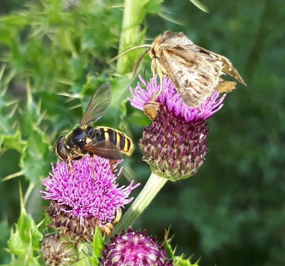 bees thistle