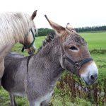donkey horse