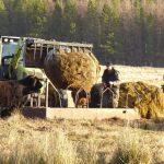 hay cows tractor