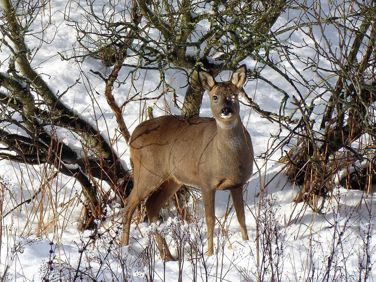 roe deer snow