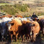cows farmer