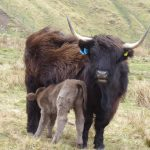 highland cow calf